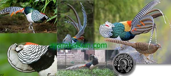 the lady amherst pheasant profile