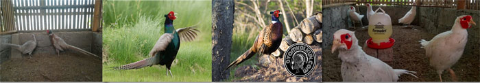 Aneka Jenis Ringnecked Pheasant