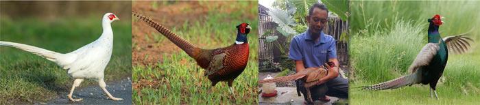 jual ayam ringnecked pheasant