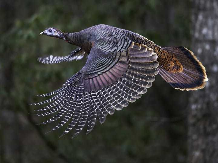 Profil Kalkun ; Ayam Kalkun Bronze