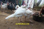 peternakan ayam kalkun