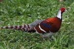 ayam elliot pheasant