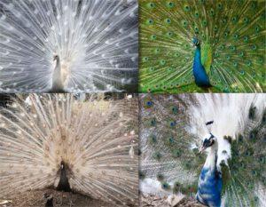 burung merak biru dan merak putih