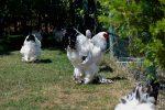 pakan ayam brahma