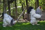 jual ayam brahma