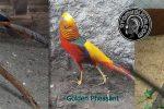 perbedaan antara golden pheasant dan red pheasant