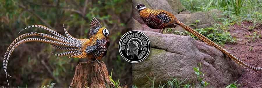 reeves's pheasant