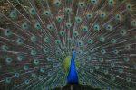 Burung Merak Biru : Apa Saja Yang Menarik Untuk Diketahui