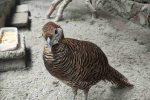 Cara Membedakan Betina Golden Pheasant dan Lady Amherst Pheasant